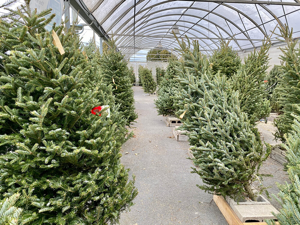 Tips for Caring for Christmas Trees